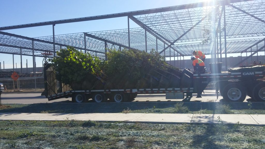 Large native tree delivery