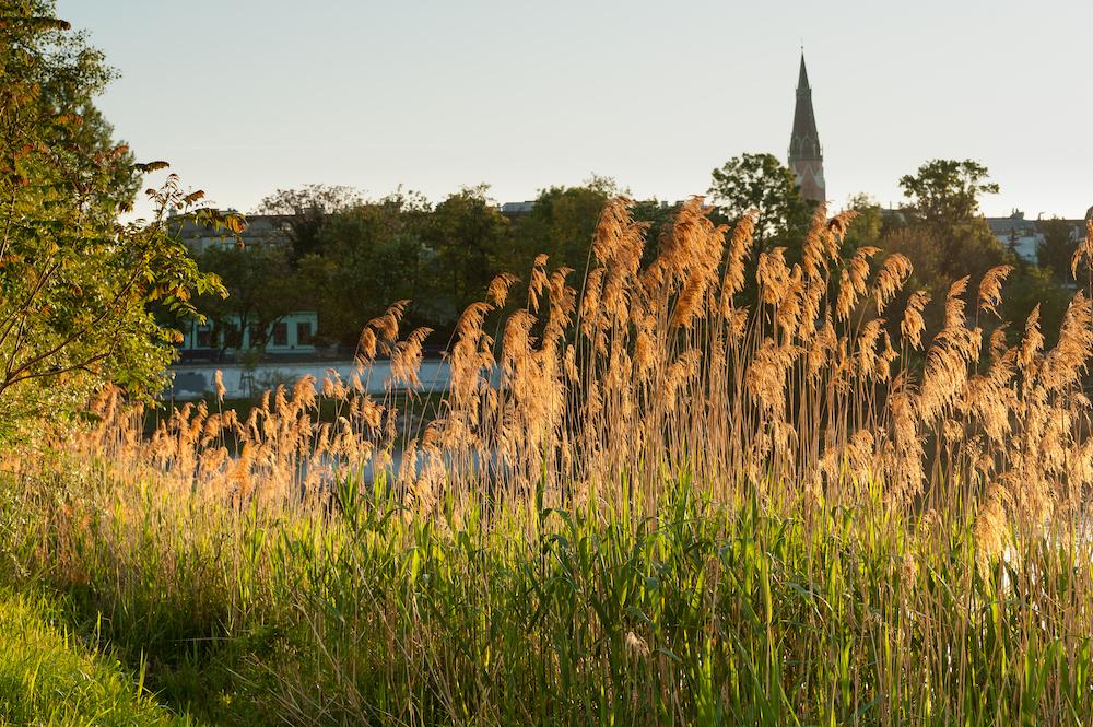 Backlit golden reed near river Danube (Alte Donau) in Vienna, Austria
